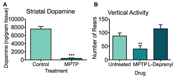 Striatal dopamine concentration and vertical activity of untreated, MPTP and L-Deprenyl treated mice.