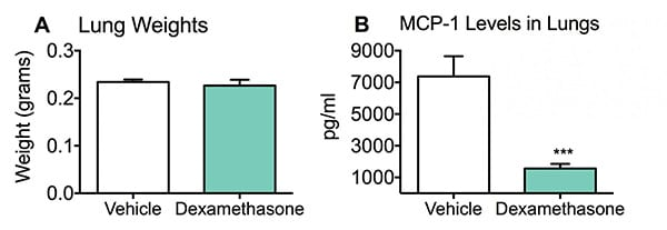 Lung weights and concentration of MCP-1 in the lungs of vehicle and dexamethosone-treated mice in an LPS induced pulmonary inflammation model.