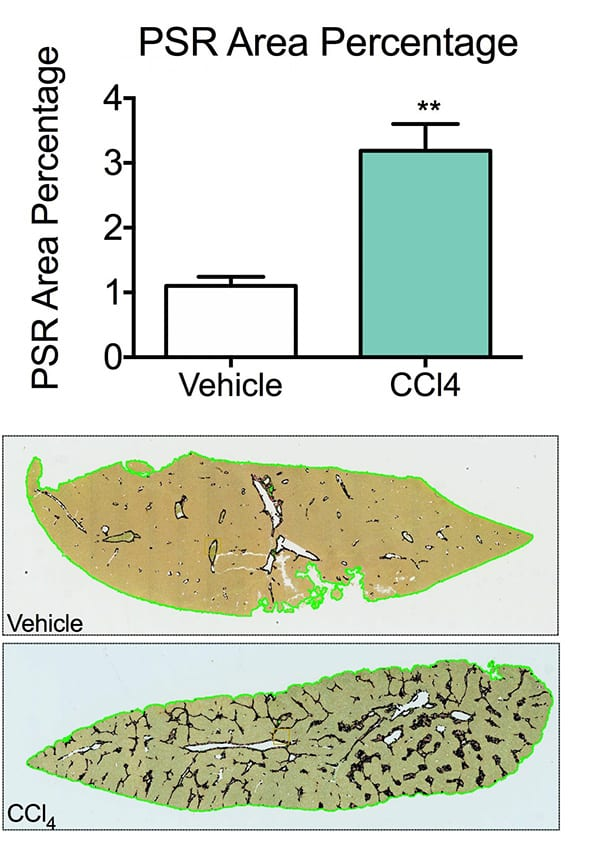 Animals receiving CCl4 shows liver damage compared to vehicle animals acheiving our liver fibrosis models